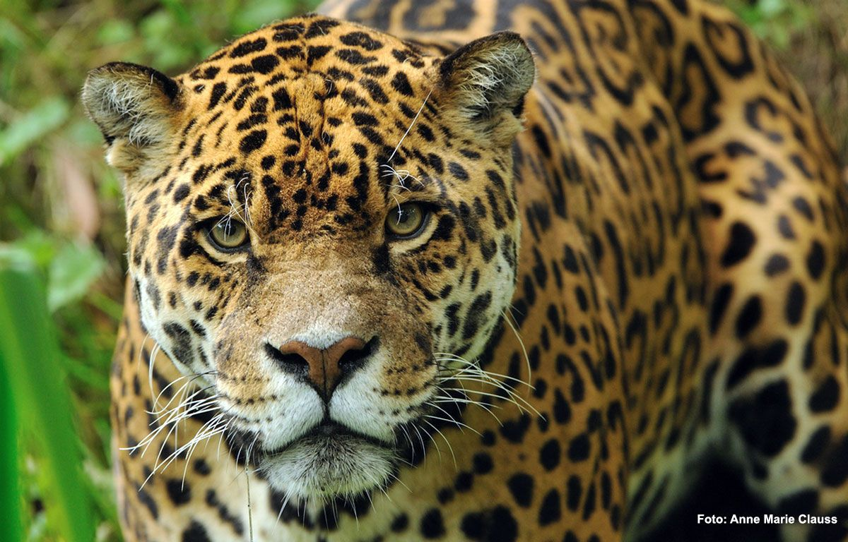 Después de 70 años extintos, los yaguaretés volvieron a andar libres en Corrientes